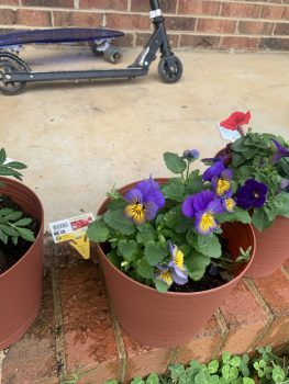 Markeela's purple and yellow violas blooming in a pot!