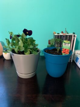 Taylor Johnson's plants in their new pots, a pretty pansy in a grey pot and a tomato plant in a blue pot sitting happily on a desk!